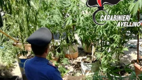 Coltivano piante di cannabis in un terreno all'insaputa del proprietario